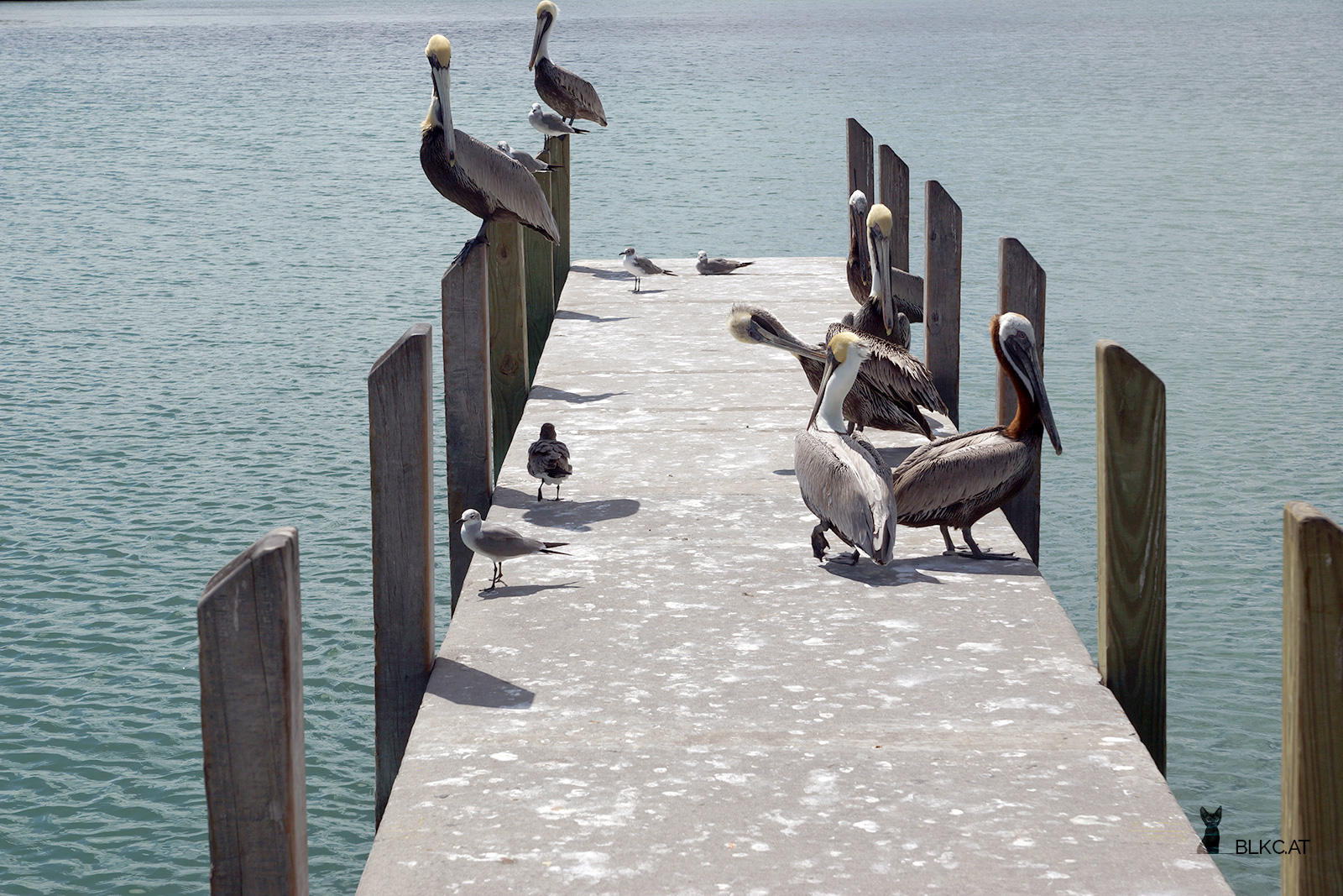 Key-Biscane-Pelikane